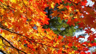 北海道 モミジ 紅葉